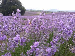 Bridestowe Lavender Estate Lavender farm Northern Tasmania