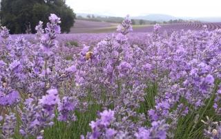 Bridestowe Lavender Estate Lavender farm Northern Tasmania